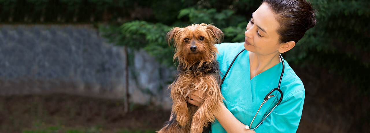 Vet holding Yorkshire Terrier covered by Healthy Paws Pet Insurance