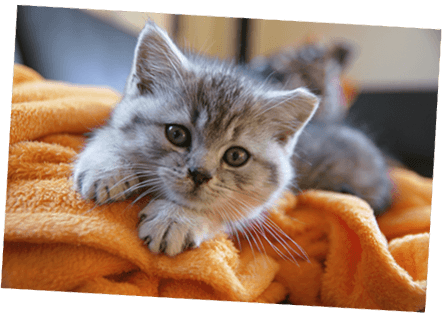 British Shorthair kitten with Healthy Paws Kitten Insurance