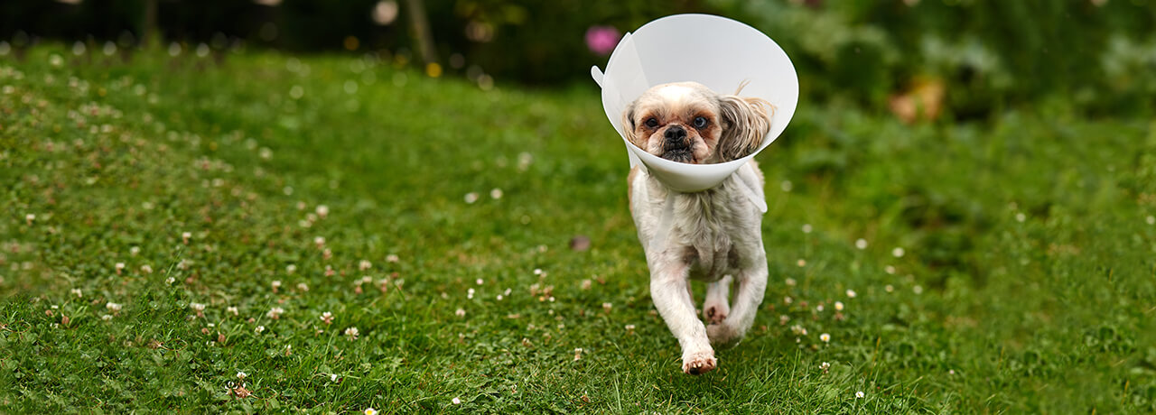 Small dog wearing cone of shame