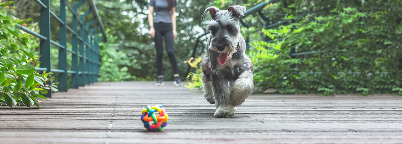 Grey dog playing fetch with owner